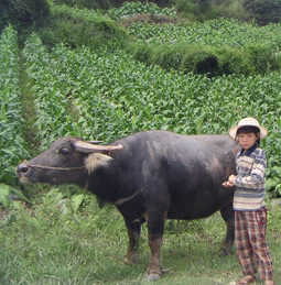 A Chinese child with a cow